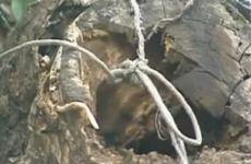 Árvores velhas e com podas inadequadas - Ricardo Cardim