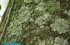 Liquens nas árvores - Ricardo Cardim